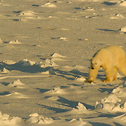 Polar Bear (Ursus maritimus) A male wandering at Cape Churchill on the shores of Hudson Bay near Churchill, Manitoba. Canada, Waiting for the ice to freeze. November. Winter.