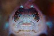 Ruanoho whero (Spectacled triplefin)