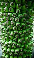 Large bunch of green bananas, Vietnam, Southeast Asia