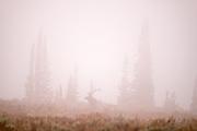 Misty morning elk spotting around Jenny Lake.