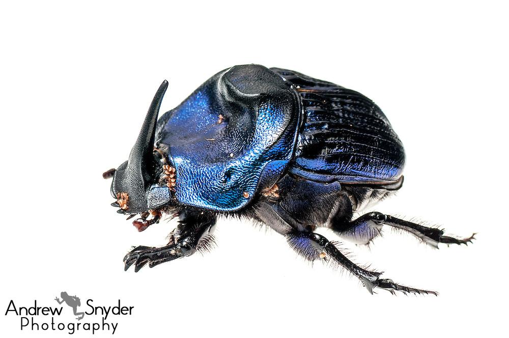 Giant amazon scarab beetle (Coprophanaeus lancifer) with phoretic mites - Iwokrama, Guyana.