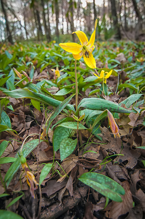 Named trout lily because their spotted leaves resemble a speckled trout, these trout lilies when growing in the right location can create a vast carpet in an open hardwood forest.