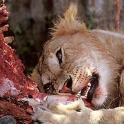 African Lion, (Panthera leo) Sub adult male  eating wildebeest carcass.Masai Mara Game Reserve. Kenya. Africa.