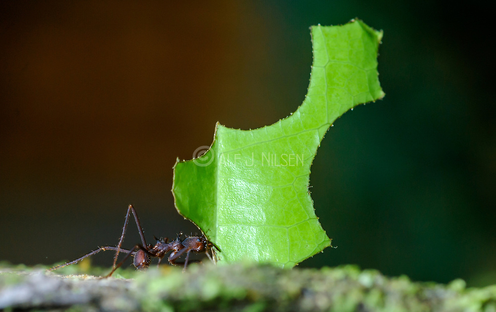 Leafcutter ant (Atta sp.) from the rainforest of LaSelva, Ecuador.