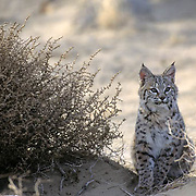 Bobcat (Lynx rufus) in the sand dunes of Little Sahara Recreation Area of Utah.  Captive Animal.