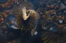 Sea Urchin Underwater off Lower Negro Island, Castine, Maine, US