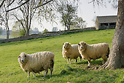 Sheep, Chedworth, Gloucestershire, The Cotswolds, United Kingdom
