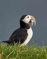 Atlantic Puffin (Fratercula arctica). Image taken with a Nikon N1V2 camera, FT1 adapter, and 80-400 mm VR lens.