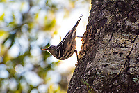 This beautiful black-and-white warbler is a forest and swamp-loving songbird and is the only member of the genus Mniotilta. Found across most of Eastern North America, it spends its winters in warmer climates from Texas and Florida down to northern South America. This one was found and photographed while it was hunting among the trees insects in Southwest Florida's Six Mile Cypress Slough Preserve, in Fort Myers on a chilly November evening.