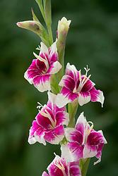 Gladiolus 'Adrienne'