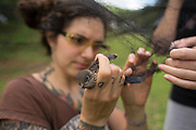 Vanessa Rojas<br /> PhD Student<br /> Biology Department<br /> Indiana State University works on freeing a juvenile eastern bluebird from the mist nets used to capture bats during a study project for Indiana bats. The mist nets were hung out to dry after nightly decontamination and the inexperienced bird tried to land on the neet andquickly got tangled.It was released moments later, slightly phased but in good condition.