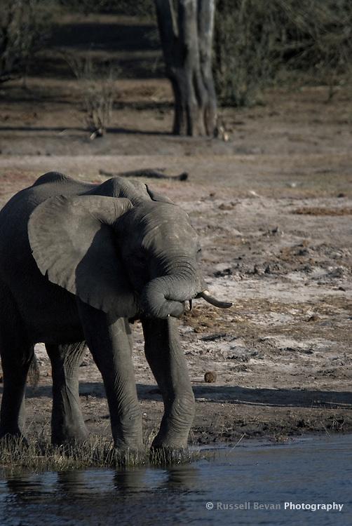 A Kalahari Elephant calf drinking on a riverbank in Chobe National Park Botswana