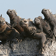 Marine iguana (Amblyrhynchus cristatus) sunbathing in a pile on white-stained rocks. Galapagos, Ecuador
