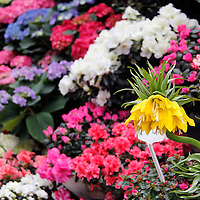 Europe, France, Paris. Flowers in the Marche aux fleurs.