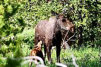 Mother moose and calf in RMNP