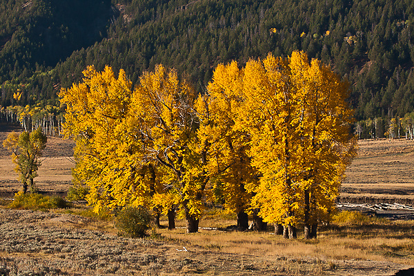 Cottonwood trees during the autumn season in Lamar Valley.  Yellowstone National Park, Wyoming, USA.