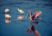 "Adult Roseate Spoonbill, Ajaia ajaja, flapping wings among immature spoonbills, J.N. ""Ding"" Darling National Wildlife Refuge, Sanibel Island, Florida."