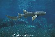 nurse shark, Ginglymostoma cirratum, Bahamas (Atlantic)