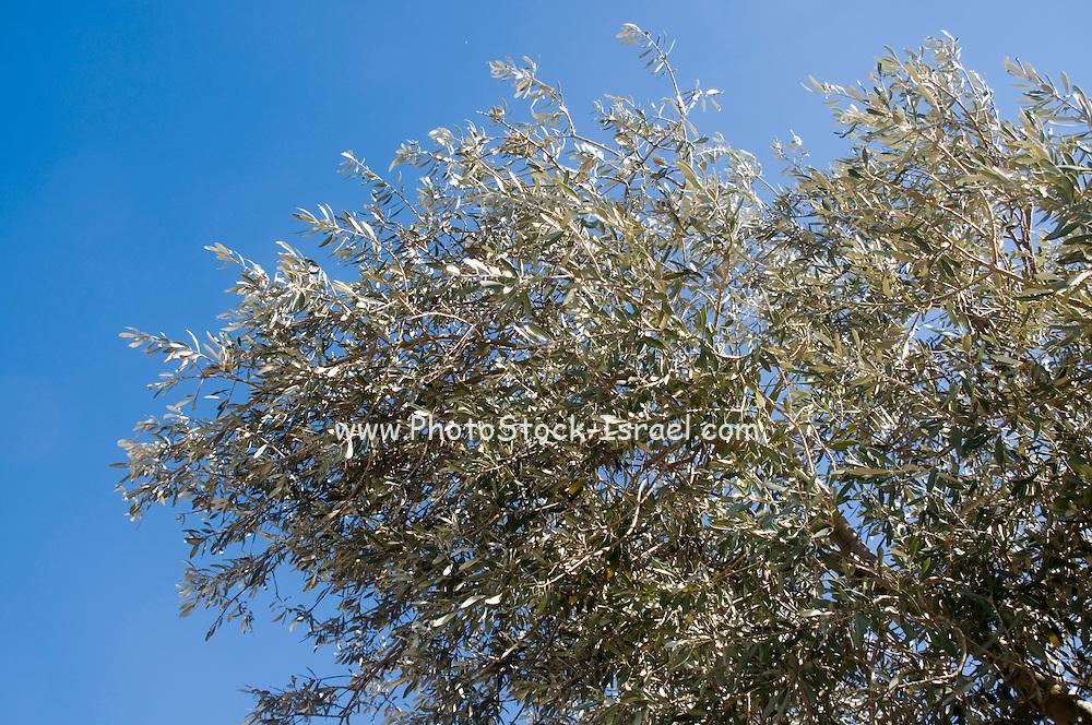 Israel, Olive tree