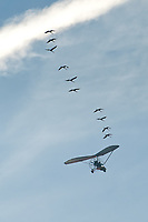 """Ten """"first year"""" whooping cranes following the ultralight to their wintering grounds in St. Marks - part of the extensive efforts of Operation Migration. Photographed January 13, 2010."""