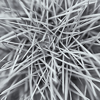 Top of a Cholla cactus in black and white.