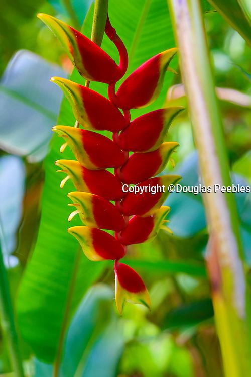 Heliconia Rostrata, Hawaii Tropical Botanical Garden, Hilo, Hamakua Coast, Big Island of Hawaii