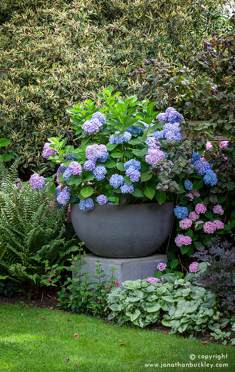 A large container of Hydrangea macrophylla Endless Summer