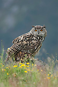 Eagle owl (Bubo bubo) perched on rock in grassland in summer, ear tufts raised. Scotland