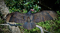 Turkey Vulture Warming in the Sun. Biolab Road, Merritt Island National Wildlife Refuge.. Image taken with a Nikon D4 camera and 500 mm f/4 VR lens (ISO 800, 500 mm, f/5.6, 1/4000 sec).