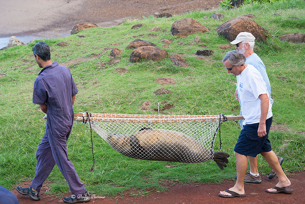 volunteers Jeff Reiner & Lloyd Lowry (right) and NOAA researcher Mark Sullivan (left) use net stretcher to carry recently weaned 56 day old male Hawaiian monk seal, Neomonachus schauinslandi, to tagging location at Keokea Beach Park, Niulii, North Kohala, Hawaii Island ( the Big Island ), Hawaii, U.S.A., (9 days after pup was weaned);