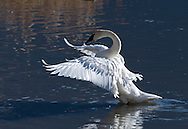 Trumpeter swan stretches its wings on Flat Creek, Jackson, WY at the National Elk Refuge.