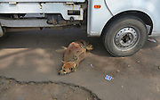March 16, 2016 - Dimapur, India - <br /> <br /> Disturbing sight as dog is roped at the mouth and placed in a bag for dog meat<br /> <br /> The disturbing sight that seems to be more every day life in India as a Dog is tied up and put in a sack for sale at a daily market in Dimapur, India northeastern state of Nagaland on Wednesday, March 16, 2016. Dog meat, a delicacy food for the tribal people of Nagas, is eaten openly with high demand and to a smaller extent in Mizoram state. Alive Dog and its meat were sold in market for consumption<br /> ©Exclusivepix Media