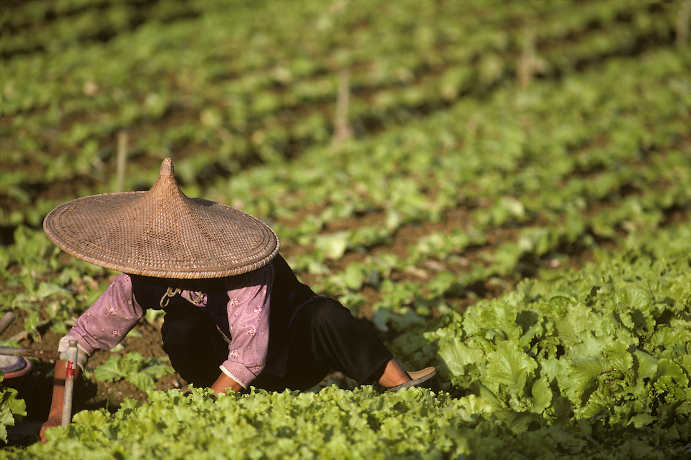 China, Hong Kong, Woman working picking lettuce in farm field in New Territories