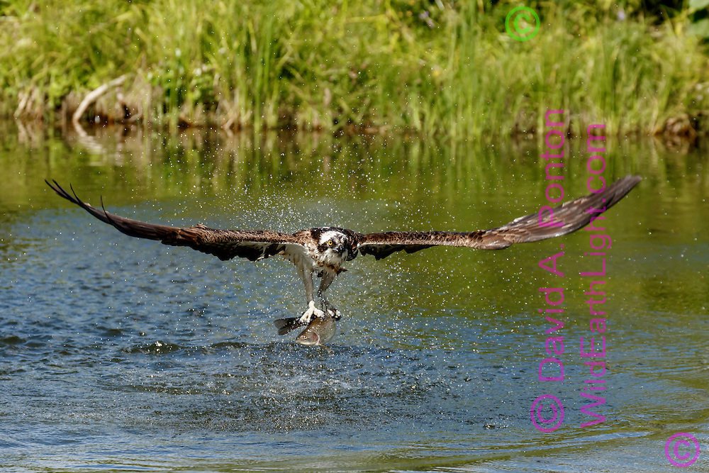 Powerful downstroke of wings lifts osprey and its payload and flexes flight feathers upwards. © 2015 David A. Ponton