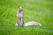 Squirrel pauses to survey the landscape in the Boston Common park area. Boston, Massachusetts.