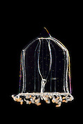 [captive] Jellyfish (Aglantha digitale). Raunefjorden near Bergen, Norway.   Qualle (Aglantha digitale). Raunefjord bei Bergen, Norwegen.