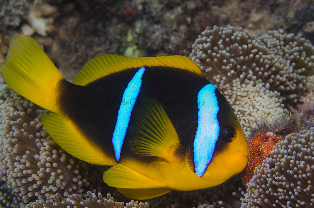 Orange-finned Anemonefish (Amphiprion chrysopterus)<br /> TENDING/GUARDING EGGS <br /> Close to host anemone for protection<br /> Fiji. South Pacific