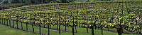 Grapes at a vineyard in the Anderson Valley, California