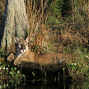 Florida Panther (Felis concolor coryi) in the Florida Everglades. Endangered Species.  Captive Animal