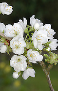 Wild Cherry Prunus avium Rosaceae Height to 30m <br /> Deciduous tree with domed crown. Bark Reddish-brown, shiny, with circular lines; peels horizontally into papery strips. Branches Spreading with reddish twigs. Leaves To 15cm long, ovate, toothed. Reproductive parts Flowers white, 5-petalled, in clusters of 2–6. Fruits to 2cm long, rounded, ripening dark-purple, sometimes yellowish. Status Widespread native.