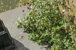 Klein glaskruid, Parietaria judaica