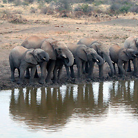 Africa, South Africa, Madikwe. Elephant herd drinking at water's edge before dusk.