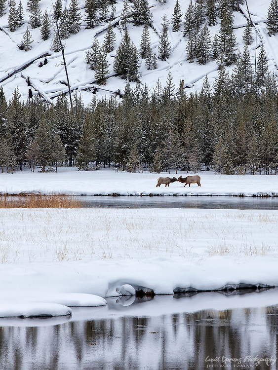 Female elk greet each other in a meadow along the Madison River in Yellowstone National Park on a cold winter day.
