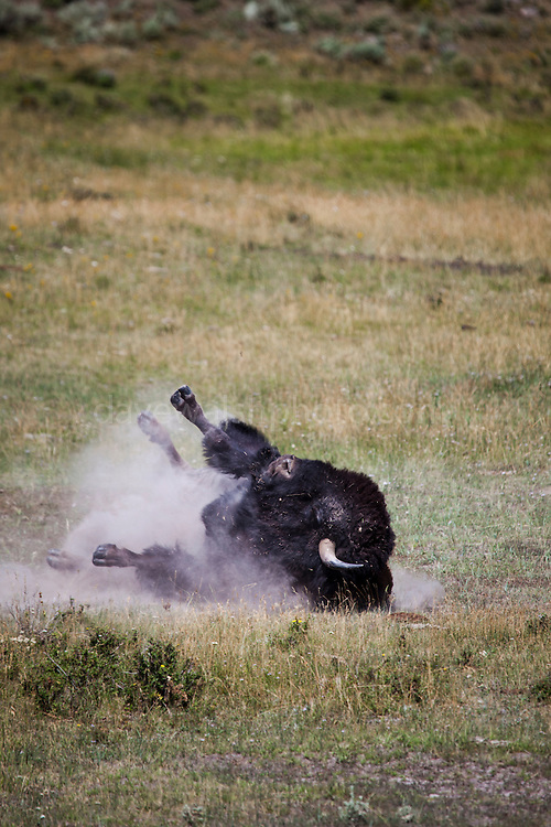 Bison, or American buffalo, takes a dust bath near the Yellowstone River, between Tower Junction and Lamar Valley, Yellowstone National Park, Wyoming. There's around 3,700 bison the park, of the Plains Bison subspecies. <br /> Yellowstone may be the only place where bison have not been hunted out of existence, although the population plummeted due to poaching at the turn of the 20th century. The population is still under threat - when they roam outside the park boundaries, and from claims that they transmit disease such as bas brucellosis to cattle.
