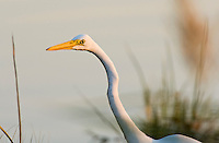 The Great Egret Ardea alba, also known as the Great White Egret, White Heron, or Common Egret,
