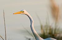 The Great Egret Ardea alba, also known as the Great White Egret, White Heron, or Common Egret,
