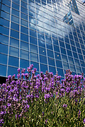 Lavender in flower and the sky reflected in glass building. Nature and man made contrasting in the same picture.