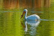 American white pelican (Pelecanus erythrorhynchos) <br />Winnipeg<br />Manitoba<br />Canada