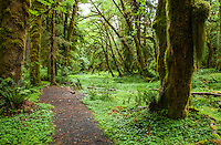 A forest scene with trail running through it in the Quinault Rainforest, Olympic National Park, Washington.