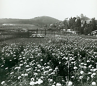 1937 Flower fields north of Los Feliz Blvd.